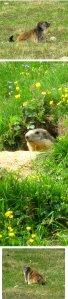 marmott collage